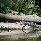 Alligator at Rest. Dora Canal, FL by Kristi Lockwood