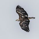 Juvenile Eagle 2015-2 by Thomas Young