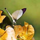 COLOTIS REGINA - Queen purple tip Butterfly by Magaret Meintjes
