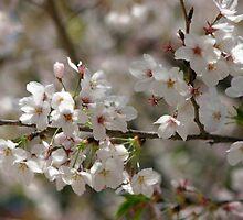 Osaka sakura by Kyra  Webb