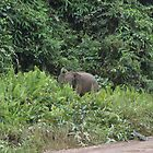 Wild Pygmy Elephant - Danum Valley - Borneo by David Meyer