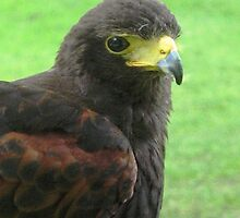 Ebby the Harris Hawk by jacqi