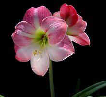 Appleblossom Amaryllis 1 by donRene