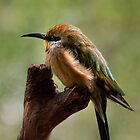 Rainbow Bee-Eater by Heather Prince ( Hartkamp )