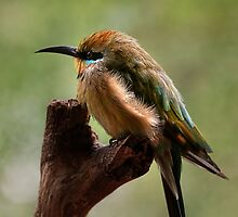 Rainbow Bee-Eater by Heather Prince