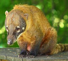 Brown nosed Coati  by jdmphotography
