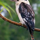 Kookaburra by Peter Ford
