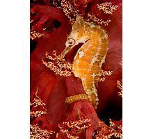 White's seahorse Photographic Print