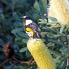 new holland honeyeater by GrowingWild