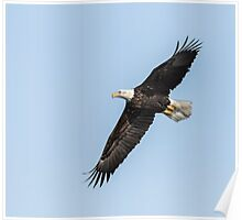 American Bald Eagle 2015-7 Poster