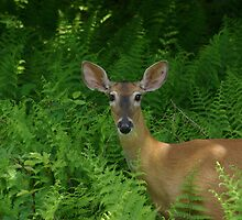 Doe In The Ferns by Molly  Kinsey