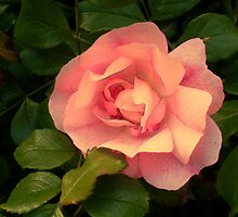 Peach colored rose by happyphotos