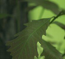 Oak Leaf by Stephen Thomas