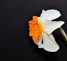 Daffodil Profile by Kathleen Brant