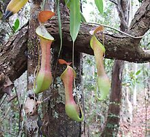 Pitcher plants - Maliau Basin - Sabah's Lost World by David Meyer