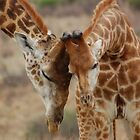 Giraffe greeting by Hannah Shaw