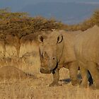 White Rhinos at sunset by Hannah Shaw