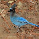 Stella!  Stellar Jay from Big Sur, CA by Lenny La Rue, IPA