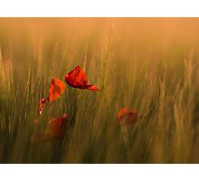 Red Petals Photographic Print