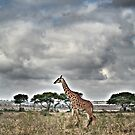 Giraffe Walking by Scott Ward