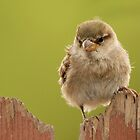 Female House Sparrow by tomryan