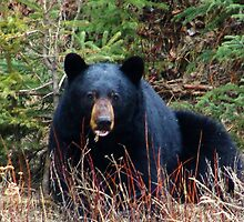 sleepy black bear  by Christopher Birtwistle-Smith