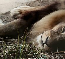 Sleeping Lion by stardustphoto