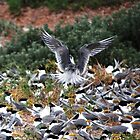 Crested Terns Nesting by Fred  Smith