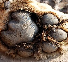 African Lion Paw by pms32