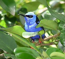 Red Legged Honey Creeper by Jamie Peterson
