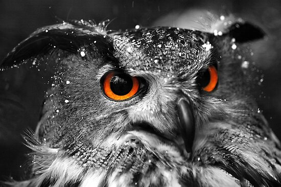 African Eagle Owl part 2 by Matt Sillence