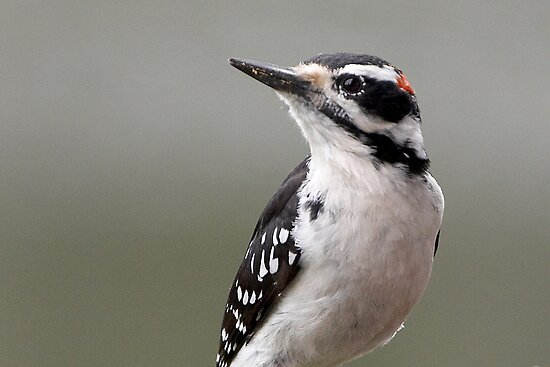 Downy Woodpecker by Robert Elliott