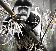 Cheeky Monkey by Alistair Wilson