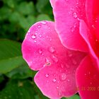 A Rose in the Rain by shelbu94