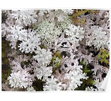 Snow Lichen - As delicate as Lace Poster