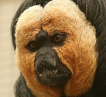 Pale-headed Saki Monkey (Pithecia pithecia) - Twycross Zoo by amjaywed