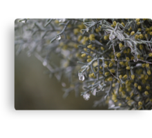 dew on pine trees in winter Canvas Print