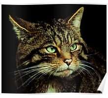 Scottish Wildcat close up Poster