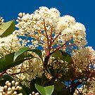 Photinia flower by Catherine Davis