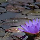 waterlily series - mauve by Peace Mitchell