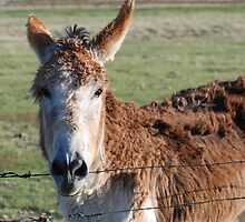 Donkey Looking Over Fence by sweetwyo