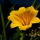 Day Lily by Ray4cam