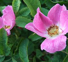Wild Rose by paul boast