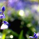 Blue Bells by Jess Rodda