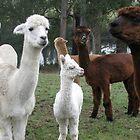 alpaca curiosity by Carol  Lewsley