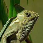Veiled Chameleon by Margaret Saheed