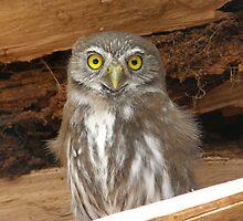 Austral pygmie owl by MichaelBr
