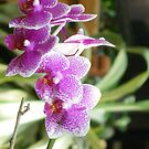 Purple and pink hybrid orchids by Sheila McCrea