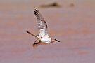 Common Greenshank ~ Flight  by Robert Elliott