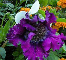 Petunia hybrida grandiflora superbissima nana by elena7